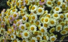 Бал хризантем.